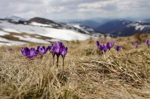 Purple flower pushing through frost